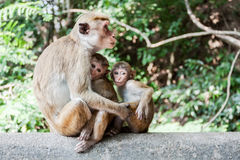 Macaca sinica on the rocks of the Golden Temple, Dambulla. Royalty Free Stock Photos
