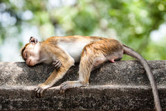 Macaca sinica on the rocks of the Golden Temple, Dambulla. Royalty Free Stock Photography