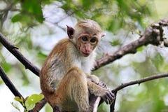 Macaca in Sri Lanka Royalty Free Stock Image