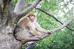 Macaca sylvanus. Old Macaca sylvanus monkey, commonly know as Barbary macaque or Common macaque stock photos