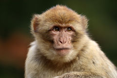 Macaca sylvanus Stockbilder