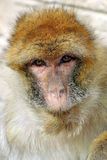 Macaca sylvanus Stockfoto