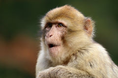 Macaca sylvanus. Portrait with a blurry and colorful background Royalty Free Stock Photo