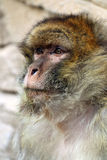 Macaca sylvanus Stock Photo