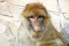 Macaca sylvanus. With a rocky background Royalty Free Stock Images
