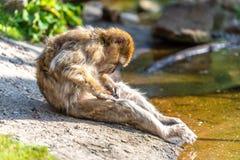 Macaca sylvanus searches for fleas stock photos