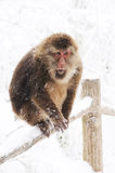 Macaca thibetana  at Mt. emei Royalty Free Stock Photography