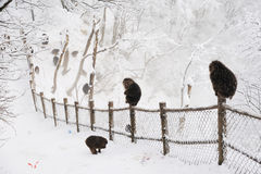 Macaca thibetana at Mt. emei. In winter royalty free stock images