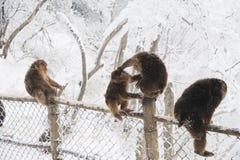 Macaca thibetana at Mt. emei Stock Photography