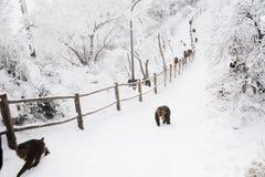 Macaca thibetana at Mt. emei. In winter stock photo