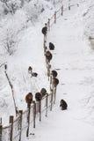 Macaca thibetana at Mt. emei Royalty Free Stock Photo
