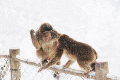 Macaca thibetana at Mt. emei Stock Photos