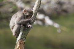 Macacafuscata, Japanse macaque, sneeuwaap het verzorgen, het stellen Royalty-vrije Stock Foto