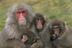 Macacafuscata, Japanse macaque, sneeuwaap het verzorgen, het stellen stock foto