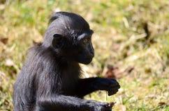 Macacanigra baby Stock Afbeeldingen