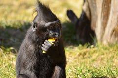 Macacanigraen behandla som ett barn Royaltyfri Fotografi