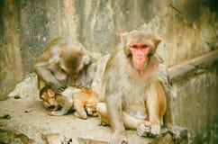 Macacaspesiosa i indiya Fotografering för Bildbyråer