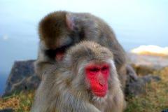 Macachi giapponesi Fotografia Stock Libera da Diritti