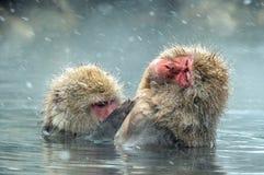 Macachi giapponesi in acqua delle sorgenti di acqua calda naturali Procedura di pulizia fotografia stock