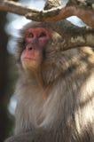 Macachi giapponesi al parco della scimmia di Iwatayama Fotografia Stock Libera da Diritti
