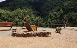 Macachi giapponesi nel loro habitat naturale in una montagna nel Giappone fotografie stock