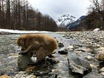 Macachi giapponesi nel parco nazionale di Kamikochi Immagine Stock Libera da Diritti