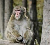 Macachi giapponesi, scimmia Fotografie Stock Libere da Diritti