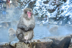 Macachi o scimmie giapponesi della neve nella prefettura di Nagano Fotografia Stock