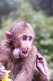 Macachi selvaggi del ` s del monte Emei Fotografie Stock Libere da Diritti