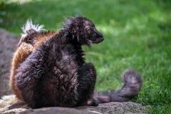 macaco Мадагаскар lemur eulemur antananarivo черное эндемичное к уязвимому зверинцу Стоковая Фотография