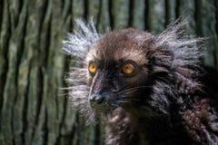 macaco Мадагаскар lemur eulemur antananarivo черное эндемичное к уязвимому зверинцу Стоковая Фотография RF