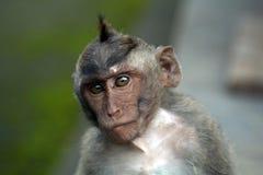 Macaco Fotografie Stock