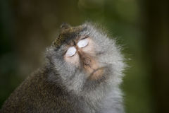 Macaco Fotografia de Stock