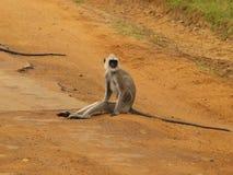 Macaco Imagem de Stock Royalty Free