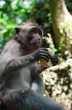 Macaco Fotografia de Stock Royalty Free