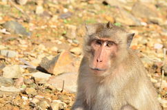 Macaco Imagens de Stock