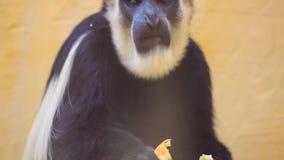 Macaco vídeos de arquivo