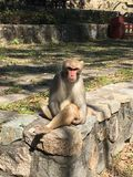 Macaco Foto de Stock Royalty Free