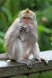 Macaco 027 fotografia de stock