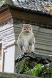 Macaco 025 Imagem de Stock Royalty Free