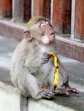 Macaco 022 Foto de Stock Royalty Free