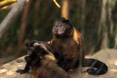 Macaco adornado do capuchin do gênero apella do apella de Cebus Fotografia de Stock