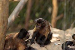 Macaco adornado do capuchin do gênero apella do apella de Cebus Foto de Stock