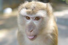 Macaco adulto irritado fotos de stock