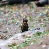 Macaco-Affebaby im Naturwald Lizenzfreies Stockbild