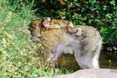 Macaco-Affebaby im Naturwald Lizenzfreie Stockfotos