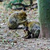 Macaco-Affebaby im Naturwald Stockfoto