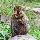 Macaco-Affebaby im Naturwald Lizenzfreie Stockbilder