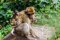 Macaco-Affebaby im Naturwald Stockfotografie