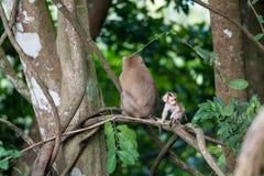 Macaco-Affebaby im Naturwald, Tier in der Natur Stockbild